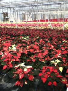 Brafford Greehouse Poinsettias, Concord, NC